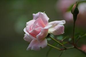 rose-178721_640