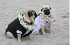 bride and groom pug