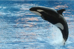 An orca, commonly known as a killer whale, at SeaWorld in Orlando, Florida.