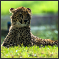I want to own several cheetahs from Africa