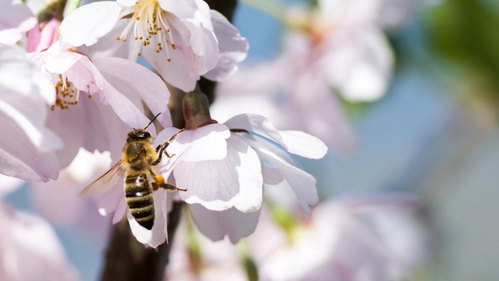 cherry-blossom-1217358_1280