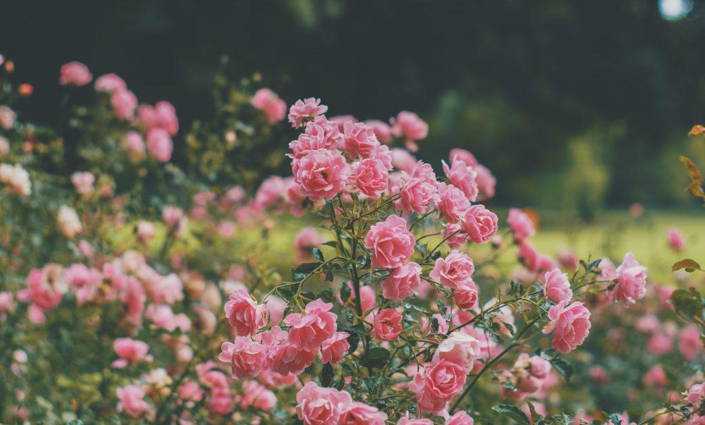 flowers-rose-bush-dear-me_edited